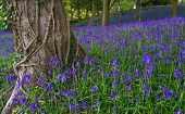 picture of english ivy  - Typical English bluebell wood in the springtime - JPG