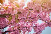 Spring Background With Flowering Japanese Oriental Cherry Sakura Blossom, Pink Buds With Soft Sunlig poster