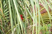 stock photo of saw-palmetto  - A Northern Cardinal  - JPG