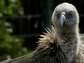 Raptorial Vulture With Sharp Eye