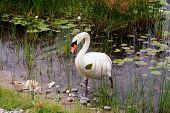 Angry Mute Swan