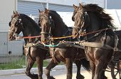 Carriage towed by three black horses