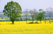 Rapeseed Is An Alternative Energy Source.