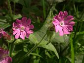 Red Campion 01