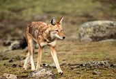 Close Up Of Ethiopian Wolf, The Most Threatened Canid In The World And The Only Wolf Species Found I poster