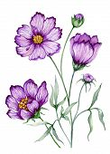 Beautiful Botanic Illustration (purple Cosmos Flower On Stem With Leaves).  Flowers Isolated On Whit poster
