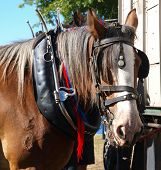 image of clydesdale  - A Clydesdale waiting to be hitched up - JPG