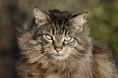 Principal Coon Cat
