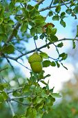green fresh acorns