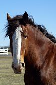picture of clydesdale  - Portrait style head shot of a beautiful Clydesdale on a clear day  - JPG
