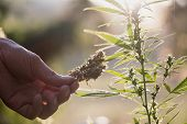 Cannabis Research, Cultivation Of Marijuana (cannabis Sativa), Flowering Cannabis Plant As A Legal M poster