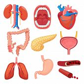 Human Organs Collection. Brain Liver Lung Stomach Muscle Vector Medical Anatomy Illustrations. Heart poster