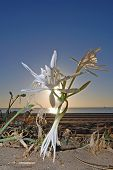 picture of sand lilies  - Beautiful desert lily growing on the beach with sun rays through petals  - JPG