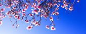 Sprouts Of Magnolia Tree On Background Of Blue Sky, During Spring Period. Budded Branch With Pink Fl poster