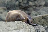 Resting fur seal