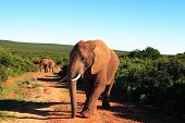 African Elephant Bull (Loxodonta Africana) Walking Through Addo Bush