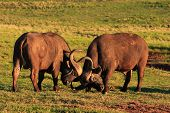 Cape Buffalo Bulls With Horns Locked (Syncerus Caffer)