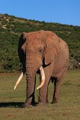 African Elephant Bull (Loxodonta Africana) Showing Large Tusks