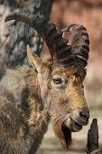 West Caucasian tur (Capra caucasica), also known as the West Caucasian ibex.  poster