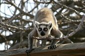 Exotic Endangered Animal - Lemur poster