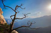 Dead pine tree in Seoraksan National Park on sunset, South Korea poster