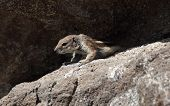 Fuerteventura gopher