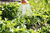 Watering The Plants From A Watering Can. Watering Agriculture And Gardening Concept. Watering Strawb poster