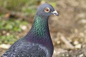 Feral Pigeon Head