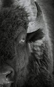Black And White Extreme Close Up Of A Bison In The Winter poster