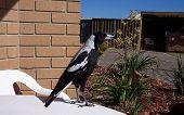 A Friendly Magpie
