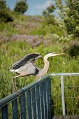 Great Blue Heron Taking Off From A Metal Handrail