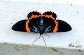 Beautiful Moth Milionia Basalis