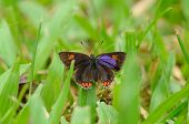 pic of brahma  - beautiful Golden Sapphire butterfly  - JPG