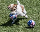 cute terrier with 2 balls