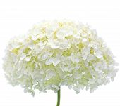 Tree Hortensia, White Hydrangea Flower Isolated Macro Closeup Mophead Annabelle H. Arborescens