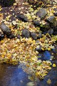 Yellow Leaves At The Water's Edge.