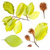image of beechnut  - Collection of european beech leaves shoot with nuts - JPG
