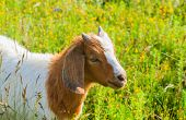 stock photo of headstrong  - Goat grazing in the green countryside - JPG