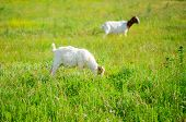 stock photo of headstrong  - Two Goats grazing in the green countryside - JPG