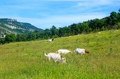 foto of headstrong  - The Goats grazing in the green countryside - JPG