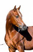 Arabian horse head isolated on white background.