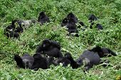 Big Mountain Gorilla Family