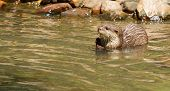Oriental Small-clawed Otter Foraging