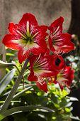 Amaryllis (Amaryllidaceae) flower