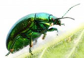 The Mint beetle (Chrysomela coerulans) is dangerous pest in herbal garden.