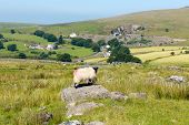 Sheep on rock Merrivale Dartmoor Devon England