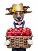 picture of farmers  - happy farmer dog holding a basket full of organic healthy apples - JPG