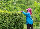 Woman Gardener pruning an hedge