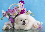 Pekingese white and flowers
