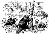 Eurasian castor
